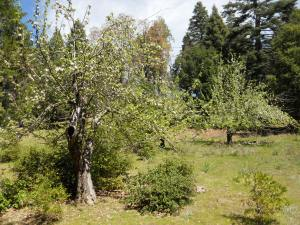apple tree Palomar Mountain State Park