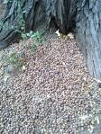 acorn pancakes Palomar Mountain