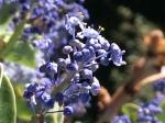 wild lilac palomar mountain