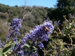 A worker bee on wild lilac, conifer road, palomar mountain