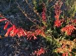South Grade wildflowers palomar mountain