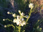 spring wildflowers south grade road palomar mountain
