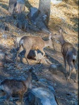 palomar mountain deer