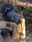 Palomar Mountain Gray Squirrel