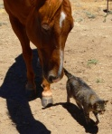 Domino and Buddy, Round House Ranch, Palomar Mountain, Photographer Cindy Knoke