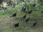 palomar mountain turkeys