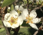 palomar mountain pear blossom bonnie phelps