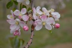 Burnworth blossom pic_0137 (1)