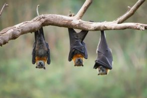 bat-removal-and-control-hanging-near-home