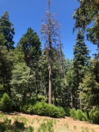 dead fir tree